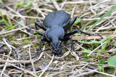 Black Carabid in the grass Stock Photo