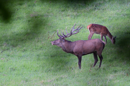 forest stag in the pairing season rut Stock Photo