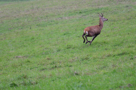 forest stag and roe in the pairing season rut