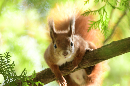 the squirrel climbs the tree and the grass and hides the walnuts in the ground for the winter