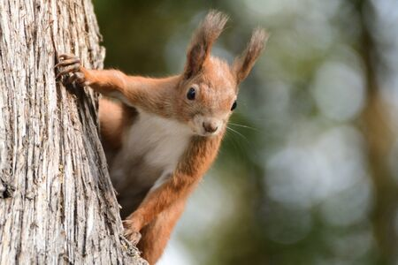 A squirrel climbs a tree looking for food
