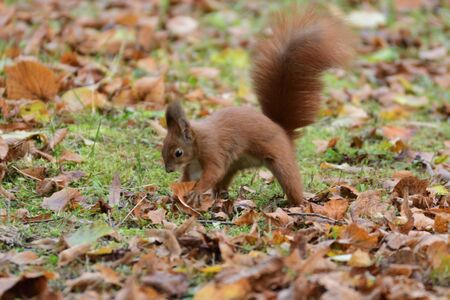 ardilla: the squirrel climbs the tree and the grass and hides the walnuts in the ground for the winter