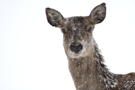 Deers during the heavy snowing in the winter snow