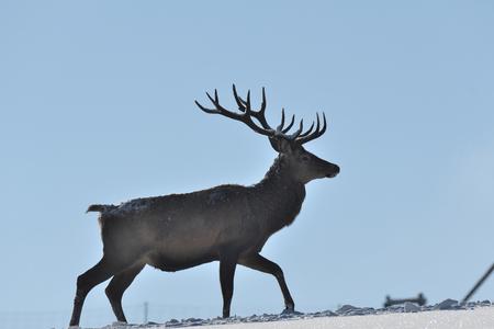 Herten deerskin wandelen in de winter in de sneeuw Stockfoto