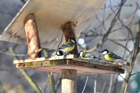 herd of birds titmouse etas from the fodder rack in the winter Stock Photo