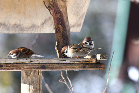 herd of birds titmouse eating from the fodder rack in the winter