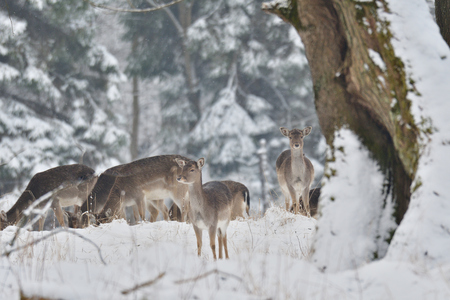 herd of Fallow deer watching in the white snowy forest in the winter Stock Photo