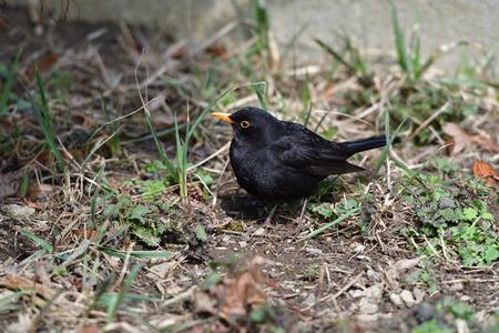 Blackbird thrush watching in the grass Stock Photo
