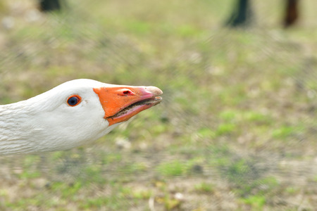 close up portrait of gander head with orange beak