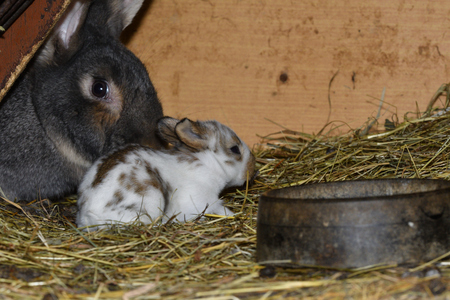 rabbit mutter and little cutie watching around his hay nest close up portrait Stock Photo