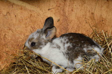 close up portrait of little rabbit cutie watching from his hay nest