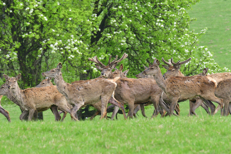 Herd of deer stag with growing antler grazing the grass close-up