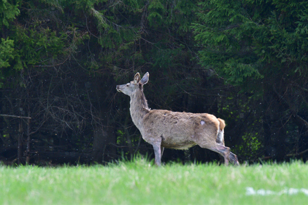 buckskin grazing the grass on the meadow