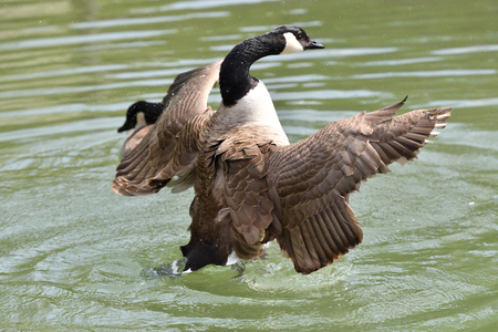 canada goose waving wings and swimming on the water lake 版權商用圖片