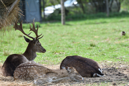 Fallow deer sitting and  grazing hay at the fodder rack near the forest 版權商用圖片