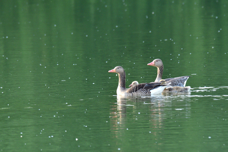 Two adults geese with babies swimming on a lake