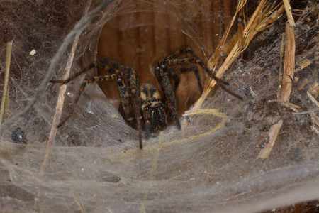 hunter spider lurking and watching from the web nest