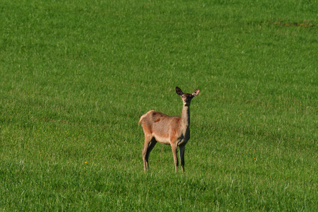 Deerskin grazing the grass buckskin Stock fotó