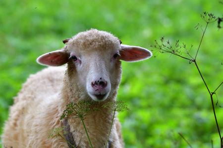 Little ram  sheep grazing on the meadow
