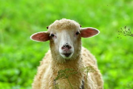 Baby sheep lamb grazing the grass and leafs