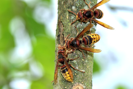 Horde of hornets is making a nest to the tree 免版税图像