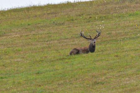 Stag resting on meadow in deer rut season
