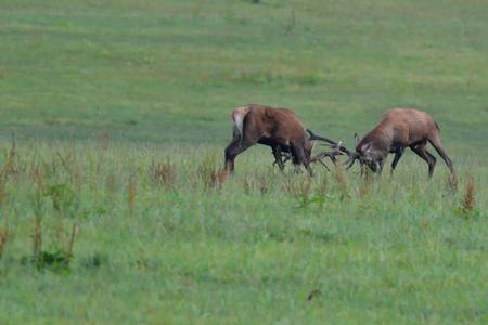 Deer hart in mating season on meadow fighting Stock Photo