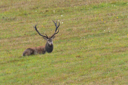 Deer stag in rut season sitting rutting on the meadow