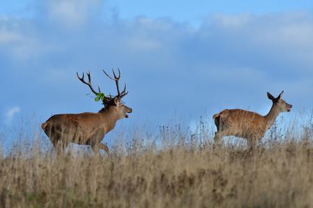 Herd of deer with antlers and buckskin running in rut season
