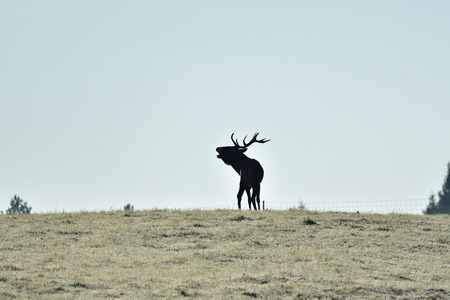 contour of silhouette of a deer with antlers on the horizont