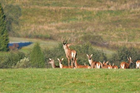 Wildlife Deer defends and keep watching herd of deerskin during the rut on the meadow