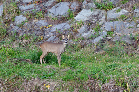 Roe deer with antlers jumping on the rock meadow
