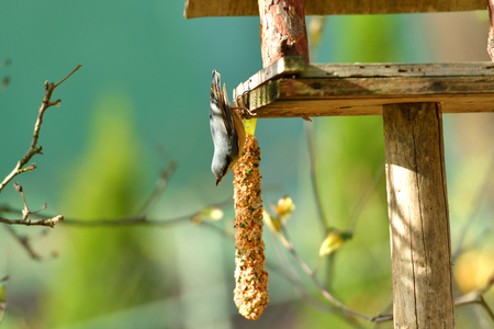 nuthatch feeds the seeds and the millet on the rack feeder