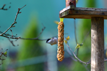 tomtit to fly on the rack feeder with millet and seed Фото со стока