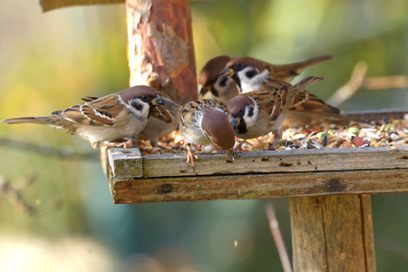 herd of sparrow bird eating seeds from the rack feeder