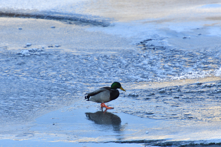wild duck float on cold river in snow and ice Standard-Bild - 115473046