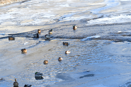 wild herd of duck to swim on cold river in snow and ice Standard-Bild - 115473052