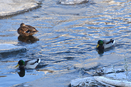 wild duck float walking on cold river in snow and ice Standard-Bild - 115473056