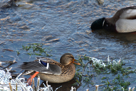 wild duck to sleep on ice an snowy river in winter