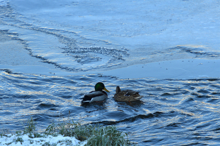 wild duck float walking on cold river in snow and ice Standard-Bild - 115473031