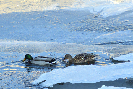 wild duck float walking on cold river in snow and ice Standard-Bild - 115473039