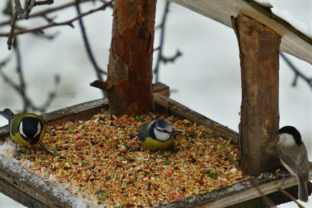 Bird titmouse feeding millet sunflower on fodder rack in winter snow