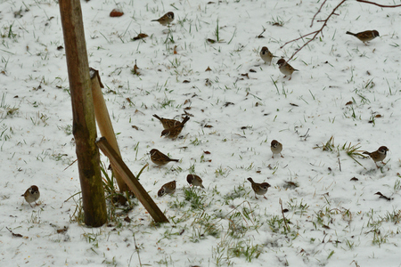 flock of bird sparrow field eating  corn seeds on the snow