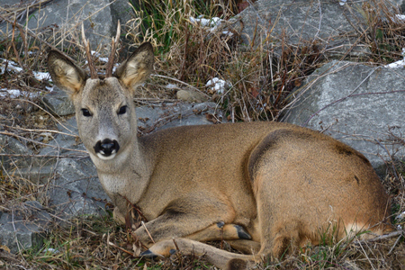 Close up the roebuck with antlers lying in the grass with snow on rocks