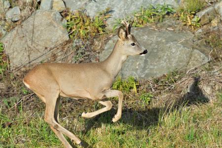 Chevreuil avec bois marchant et sautant sur la colline rocheuse du pré