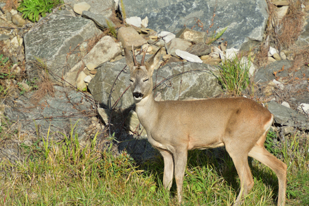 Roebuck  with antlers  walking and jumping on the meadow rock hill Stock Photo