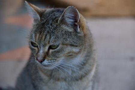 Portrait of a close up of  domestic cat head
