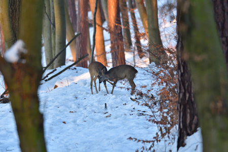 Young fawn roebuck and doe to play in the forest  in winter snow Stok Fotoğraf
