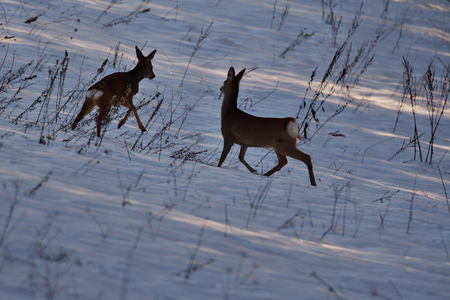 young fawn jumps and roe plays in a meadow covered with snow in winter