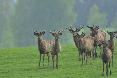 Herd of deer with antler  and doe grazing and walking on the grass meadow